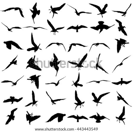 Vector set - seagull silhouette on white background, wings spread. - stock vector