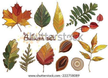 Vector set with autumn set leaves, nuts, tree. Thuja; aspen; physalis; alder; elm; willow; maple; oak; Potentilla. eps 10 - stock vector