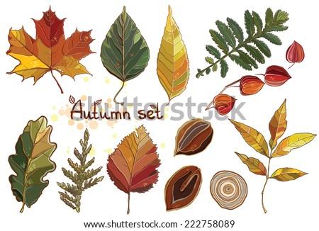 Vector set with autumn set leaves, nuts, tree. Thuja; aspen; physalis; alder; elm; willow; maple; oak; Potentilla. eps 10 - stock vector