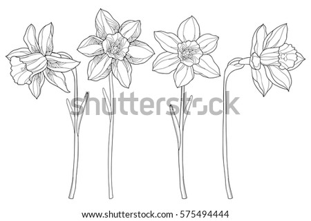Vector Set Outline Narcissus Daffodil Flowers Stock Vector 575494444