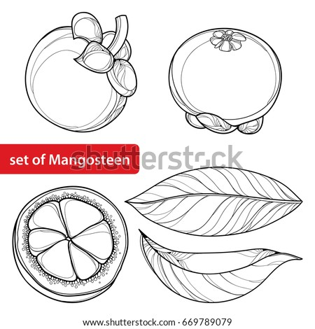 Vector set with outline Purple Mangosteen or Garcinia mangosteen fruit and leaf in black isolated on white background. Exotic tropical fruit in contour style for summer design and coloring book.
