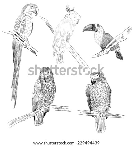Vector sketch of a parrots. Hand drawn illustration - stock vector