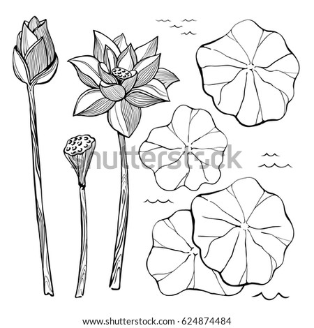 Vector Sketch Set Of Flowers And Leaves The Lotus Bud Seeds Aquatic