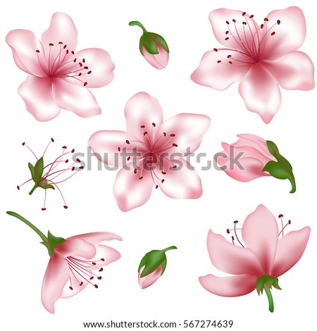 Vector spring blossom - pink flower set. Flower and bud realistic illustrations — peach blooming, apricot bloom, sakura or cherry blossom. Vector icon set, isolated on white. Element for spring design