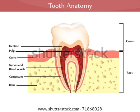 Vector tooth anatomy. Detailed diagram. Beautiful bright colors - stock vector
