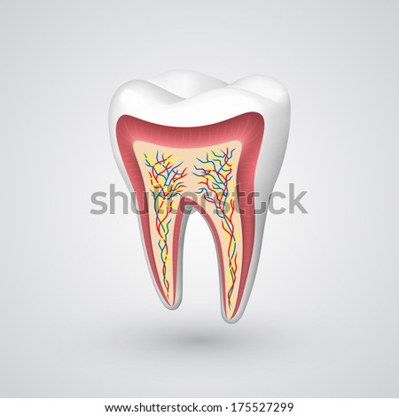 Vector tooth sectional - stock vector