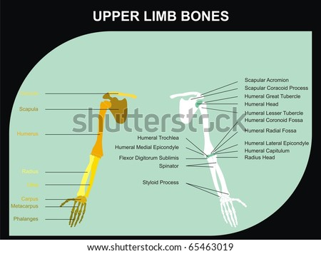 VECTOR - Upper Limb Bones of Human Body - All Major Bones (clavicle, scapula, humerus, clinic, radius, ulna, carpus, metacarpus, phalanges), and basic marks on the bones, for clinics & educational use - stock vector