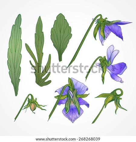 Vector vintage botanical illustration of viola tricolor - stock vector
