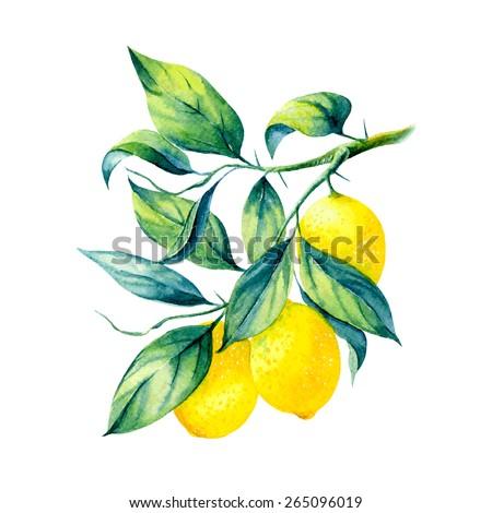vector watercolor fruit lemon branch on white background  - stock vector