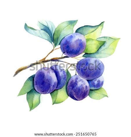 vector watercolor fruit plum branch on white background - stock vector