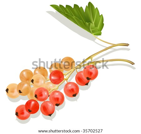 Vector white and red currant. - stock vector