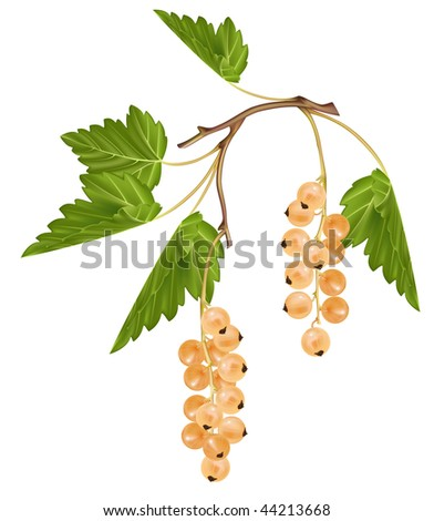 Vector white currant. Ripe berries. - stock vector