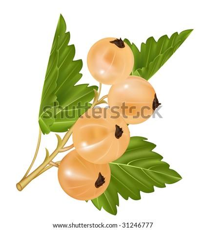 Vector white currant. Ripe berry - stock vector