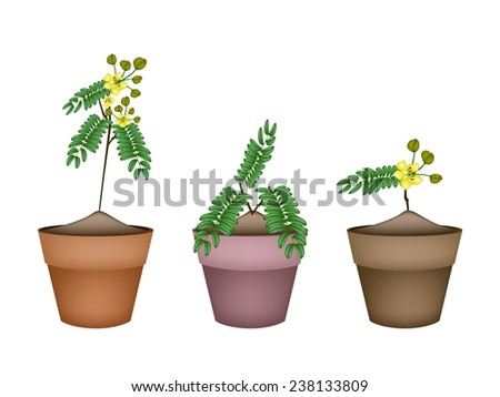 Vegetable and Herb, Illustration of Cassod, Senna Siamea or Thai Copper Bunch with Leaves and Blossom in Terracotta Flower Pots for Garden Decoration.