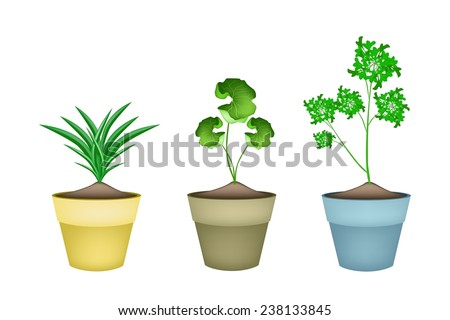 Vegetable and Herb, Illustration of Fresh Pandan Plant, Parsley and Asiatic Pennywort in Terracotta Flower Pots for Garden Decoration.