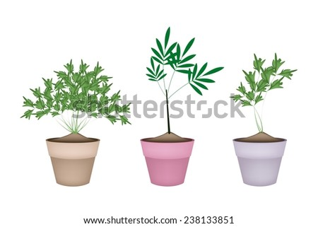 Vegetable and Herb, Illustration of Fresh Parsley or Parsnip in Terracotta Flower Pots Used for Seasoning in Cooking.  - stock vector