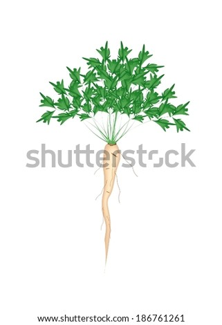 Vegetable and Herb, Illustration of Fresh Parsley or Parsnip with Root on Leaves  Used for Seasoning in Cooking.  - stock vector