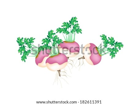 Vegetable, Vector Illustration Stack of of Fresh Purple Turnips with Leaves Isolated on White Background.  - stock vector