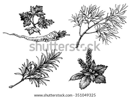 Vegetables and herbs drawings on white, hand drawn retro style. Parsley, dill, rosemary and basil - stock vector