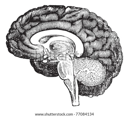Vertical section of the profile of a human brain vintage engraving, showing the medulla oblongata, pons, cerebellum potion median, the tree of life, the central parts of the brain and the convolutions - stock vector