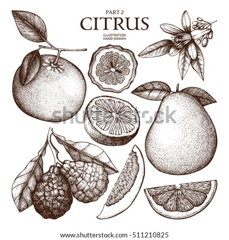 Vintage collection of  Ink hand drawn  citrus plants sketch. Vector illustration of highly detailed exotic fruits on white background