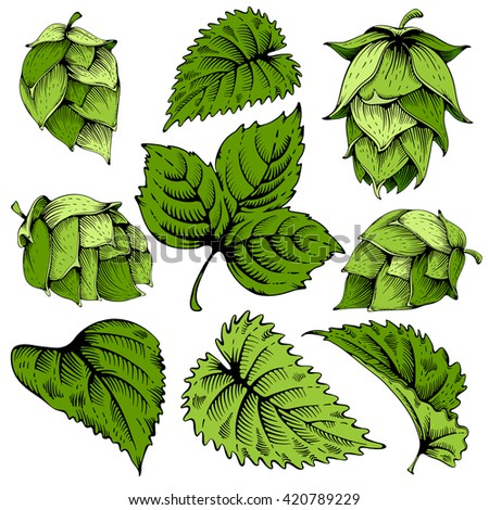 Vintage designs elements set with hops and leaves. Hops hand drawn in artistic engraved style. Colored vector illustration. Isolated on white background.