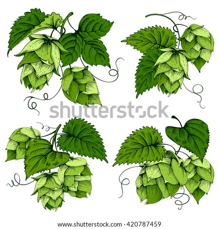 Vintage designs set with hops and leaves. Hops hand drawn in artistic engraved style. Colored vector illustration. Isolated on white background. - stock vector