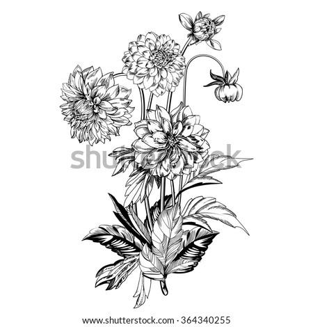 Vintage elegant flowers. Black and white vector illustration. Dahlias flowers. Botany. Vector - stock vector