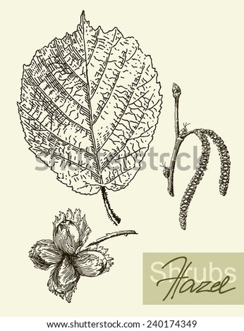 Vintage graphic Vector leaves, flowers and fruits of the hazel. - stock vector