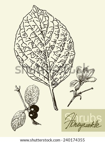 Vintage graphic Vector leaves, flowers and fruits of the honeysuckle. - stock vector