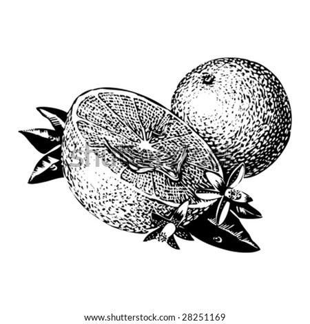 Vintage 1950s Oranges; detailed black and white from authentic hand-drawn scratchboard. - stock vector
