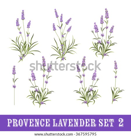 Vintage set of lavender flowers elements. Botanical illustration. Collection of lavender flowers on a white background. Watercolor lavender set.  Lavender flowers isolated on white background.