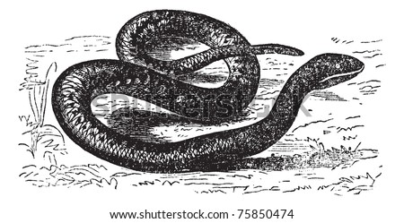 Vipera Aspis,or  European Viper, Asp, Asp viper, European asp, Aspic viper. Vintage engraving. Old engraved illustration of an European Viper is a venomous viper species found in southwestern Europe.