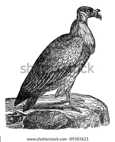 Vulture, vintage engraved illustration. Industrial encyclopedia E.-O. Lami - 1875. - stock vector
