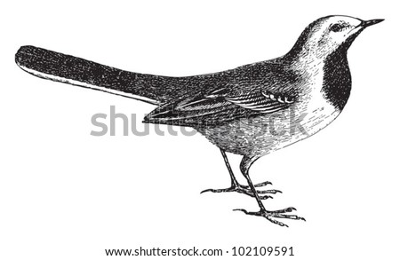 Wagtail (Motacilla) / vintage illustration from Brockhaus Konversations-Lexikon 1908 - stock vector