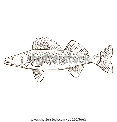 Walleye Hand Drawn Vector Illustration Isolated On White
