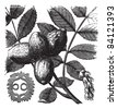 Walnut or Juglans sp., showing flowers (right) and nuts (left and center), vintage engraved illustration. Trousset encyclopedia (1886 - 1891). - stock vector
