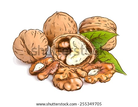 Walnut. Vector illustration. Watercolor with sketch imitation.