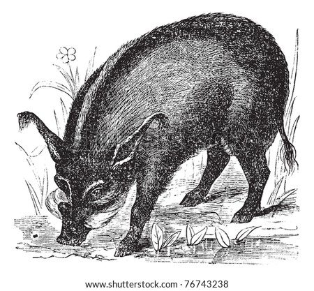Warthog or Wart-hog or African Lens-Pig or Phacochoerus africanus, vintage engraving. Old engraved illustration of a Warthog. Trousset Encyclopedia. - stock vector