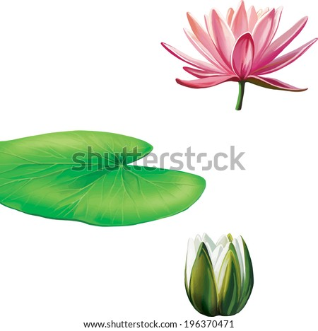 Water lily (lotus) flower and leaves. Vector illustration isolated on white background - stock vector