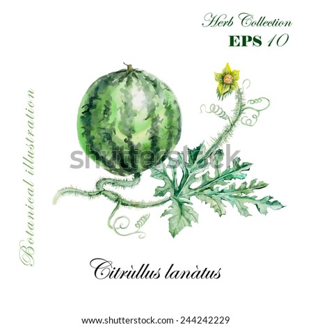 Water-melon. Collection herb. Watercolor hand drawn illustration. Botanical vector illustration - stock vector