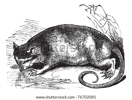 Water Opossum or Yapok or Chironectes minimus, vintage engraving. Old engraved illustration of a Water Opossum. Trousset Encyclopedia - stock vector