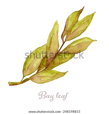 Watercolor bay leaf hand drawn, eps10 - stock vector