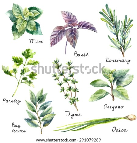Watercolor collection of fresh herbs isolated: mint, basil, rosemary, parsley, oregano, thyme, bay leaves, green onion.Herbs vector object isolated on white background. Kitchen herbs and spices banner - stock vector