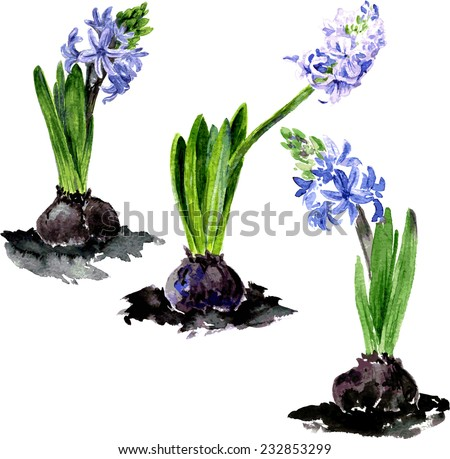 watercolor drawing flowers, three blue hyacinth,hand drawn vector illustration - stock vector