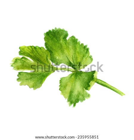 Watercolor image of leaf of coriander on white background. Vector eps8 - stock vector