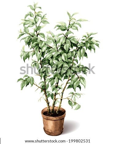 Watercolor pot plant ficus isolated on white. - stock vector