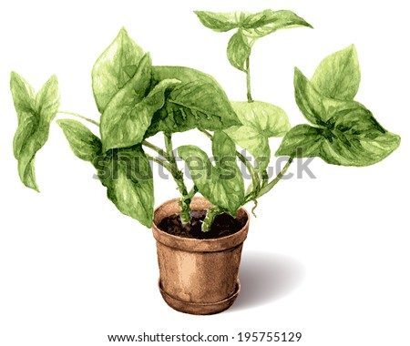 Watercolor pot plant liana isolated on white. - stock vector
