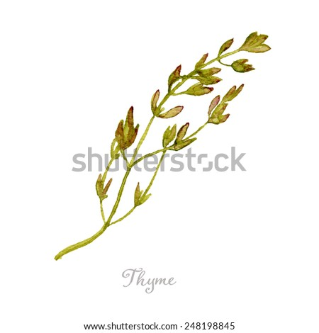 Watercolor thyme hand drawn, eps10 - stock vector