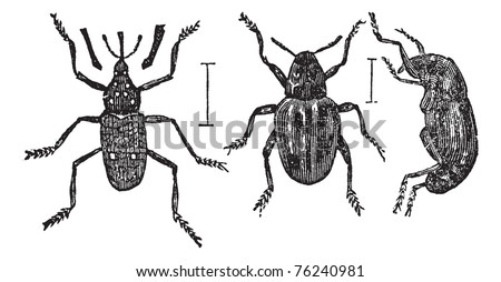 Weevil or Curculionoidea, vintage engraving. Old engraved illustration of typical Weevils showing a long (left) or short (center and right) snouts.